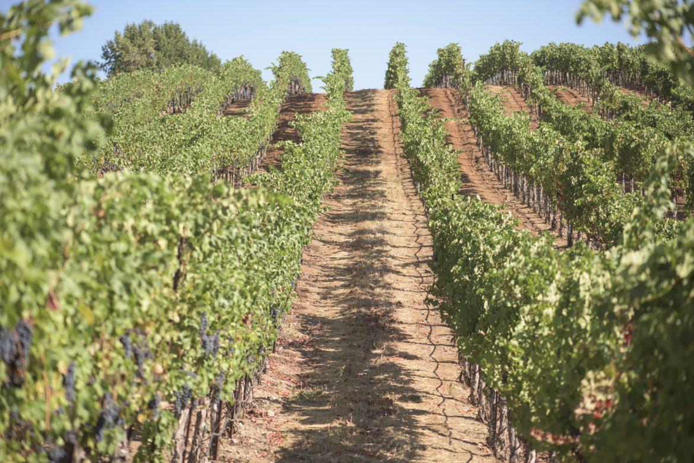 Lagomarsino Vineyard